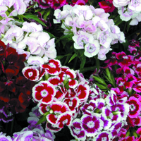 Borstnejlika, Sweet William Auricula-Eyed Mixed-Fröer till borstnejlika Sweet William, Auricula-Eyed Mixed