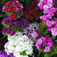 Borstnejlika, Sweet William Crowned Double Mixed-Fröer till bortnejlika Sweet William, Crown Double Mixed