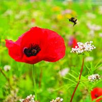 Wild Flower Mix, Butterflies & Bees-Fröer till vilda blommor, Wild Flower Mix, Butterflies & Bees 80/20