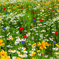 Vildblommor, Wild Flower Mix, Classic Meadow-Fröer till Wild Flower Mix, Classic Meadow 80/20