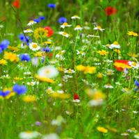 Vildblommor mix, Cornfield Annuals-Fröer till Wild Flower Mix, Cornfield Annuals 80/20