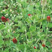 Gröngödsel, Blodklöver/Rödklöver-Fröer till gröngödsel, Rödklöver/Crimson Clover