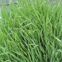 Fröer till gröngödsel, Råg/Grazing Rye