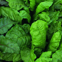Mangold, Perpetual Spinach-Fröer till Mangold, Perpetual Spinach