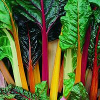 Mangold, Rainbow-Fröer till Mangold, Rainbow