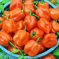 Chili, Habanero Orange-Fröer till chili, Habanero Orange