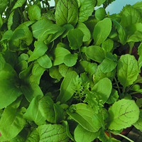 Småbladssallad, Mixed Spicy Leaf-Fröer till Salladsblad, Mixed Spicy Leaf
