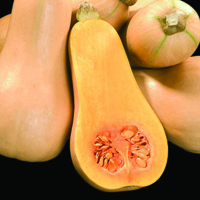 Squash, Winter Butternut Hunter F1-Fröer till Squash, Winter Butternut Hunter F1