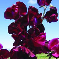 Luktärt, Beaujolais-Fröer till luktärter av sorten beaujolais