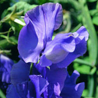 Luktärt, Blue Velvet-Fröer till luktärter av sorten blue velvet