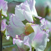 Luktärt, Cirrus-Fröer till luktärter av sorten cirrus