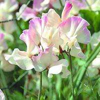 Luktärt, Frolic-Fröer till luktärter av sorten frolic