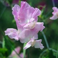 Luktärt, Geranium Pink Improved-Fröer till luktärter av sorten geranium pink improved