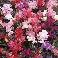 Luktärt, Perfume Delight-Fröer till luktärter av sorten perfume delight