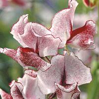 Luktärt, Wiltshire Ripple-Fröer till luktärter av sorten wiltshire ripple