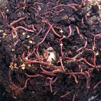 Kompostmask-kompostmask för maskompost inne och ute