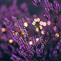 Glimmer ljusslinga i lavendel