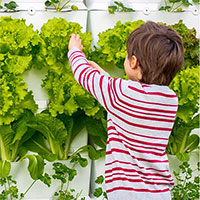 pojke skördar sallad i växtvägg