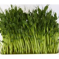 Ärtgroddar yellow leafy shoots-Ekologiskt frö till groddning och ärtskott Yellow Leafy Shoots
