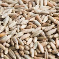 Groddfrö av råg-Ekologiskt frö till groddning och skott råg