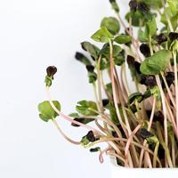 Groddar bovete-Ekologiskt frö till groddning och skott Bovete med skal