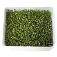 Groddbox Sproutmaster, Stor groddbox för groddning, Sproutmaster