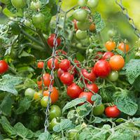 Odlingsset, Easy To Grow, Tomato Pot, Odlingsset för busk- och ampeltomater