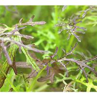 Micro leaf, Bladsarepta 'Red Frills'-frö till mikroblad bladserepta