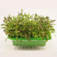 Micro leaf, Bladsarepta 'Red Frills', Frö till mikroblad bladsarepta