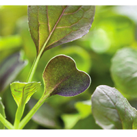 Micro leaf, Pak Choi 'Red Wizard'-Frö till mikroblad pak choi