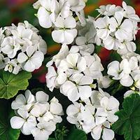 Pelargon Inspire White F1-frö till Pelargon Inspire White F1