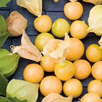 Gyllenbär-Fröer till gyllenbär