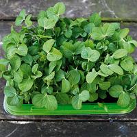 Minidrivhus för Micro leaf, Groddtråg micro leaf