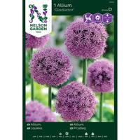 Allium - Gladiator-Lök Allium, Gladiator, purpurrosa