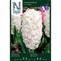 Hyacint - Carnegie-Lök Hyacint, Carnegie, vit