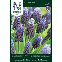 Bredbladig pärlhyacint-Lök Pärlhyacint, Bredbladig, blåviolett/blå