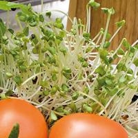 Groddar Broccoli - Primo Vitamino-Organiskt frö till groddar - Broccoli
