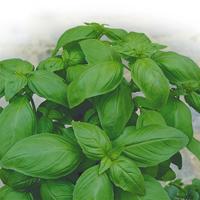 Basilika Genovese - ekologiskt frö-Ekologiskt odlat frö till basilika - Ocimum basilicum