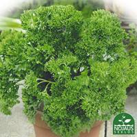 Persilja Grune Perle, ekologiskt frö-Ekologiskt frö till persilja - Petroselinum crispum (Mill.)
