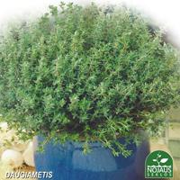 Timjan Organic BioSeed, ekologiskt frö, Ekologiska fröer till Timjan - Thymus vulgaris L.