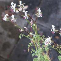 P. alternans-vildpelargon, vildart, vildpelargonfrö, frö pelargonfrö