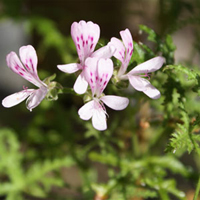 P. denticulatum very fine leaves-vildpelargon, vildart, vildpelargonfrö, frö pelargonfrö, pelargonium