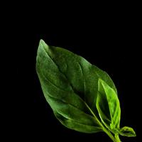 Frökapsel Plantui Smart Garden - Basilika, Thaibasilika-Frökapsel till Smart Garden inomhusodling - Ocimum basilicum - Thai