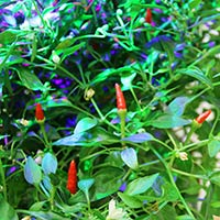 Frökapsel Plantui Smart Garden - Chili, Demon Red-Chilifrö till Plantui hydrokultur, Demon Red