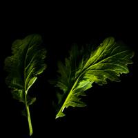 Frökapsel Plantui Smart Garden - Komatsuna-Frökapsel till Smart Garden inomhusodling - Brassica rapa var. perviridis