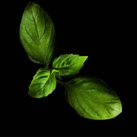 Frökapsel Plantui Smart Garden - Basilika, Genovese-Frökapsel till Smart Garden inomhusodling - Basilika Genovese