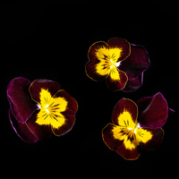 Frökapsel Plantui Smart Garden - Hornviol 'Ruby & Gold'-Frökapsel till Smart Garden inomhusodling - Viola cornuta hybr. Ruby & Gold