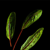 Frökapsel Plantui Smart Garden - Skogsskräppa, syra-Frökapsel till Smart Garden inomhusodling - Rumex sanguineus