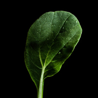 Frökapsel Plantui Smart Garden - Tatsoi-Frökapsel till Smart Garden inomhusodling - Brassica rapa var. rosularis