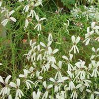 P. trifidum - Fröer-vildpelargon, vildart, vildpelargonfrö, frö pelargonfrö, pelargonium